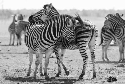 Plakát Zebra stáda v černé a bílé fotografii s hlavy dohromady