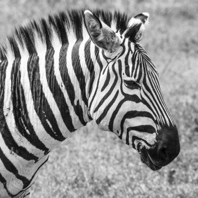 Plakát Zebra v národním parku. Afrika, Keňa