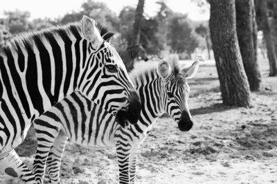 Plakát Zebra v Safari v Tel-Aviv
