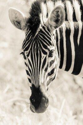 Plakát Zebrahead Portrét Wildlife Black White Vintage