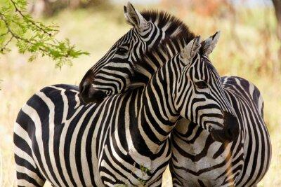 Plakát zebry