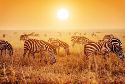 Plakát Zebry stádo na africké savaně při západu slunce.
