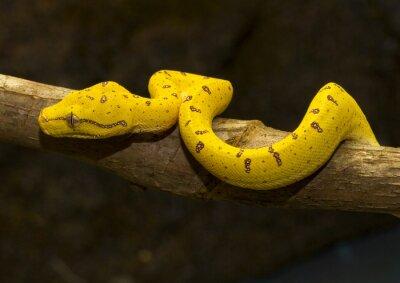 Plakát Zelený strom Python - Yellow nezralý -02