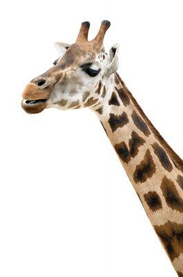 Plakát Žirafa