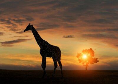 Plakát Žirafa během afrického západu slunce