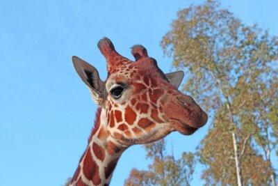 Plakát žirafa foto
