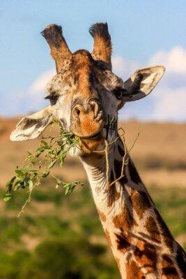 Plakát žirafa jíst