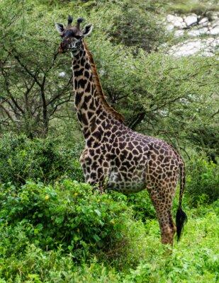 Plakát žirafa mezi Rwandě v Serengeti