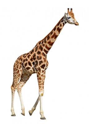 Plakát Žirafa na bílém pozadí