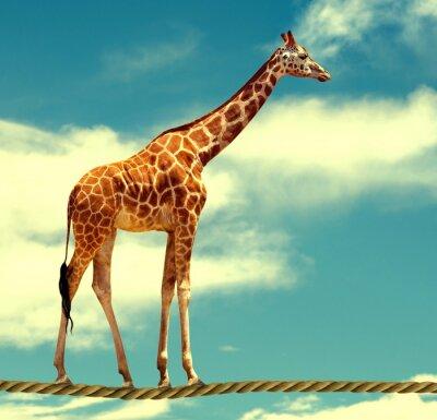 Plakát žirafa na laně