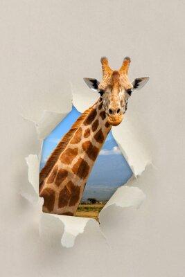 Plakát Žirafa při pohledu skrz otvor roztrhaný papír
