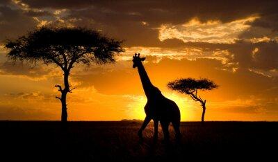 Plakát Žirafa při západu slunce v savany. Keni.