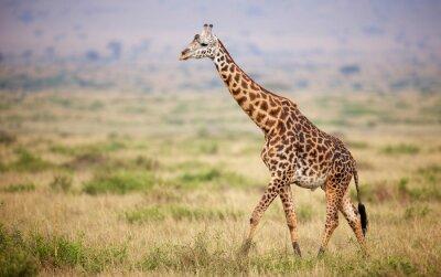 Plakát Žirafa procházky v Keni