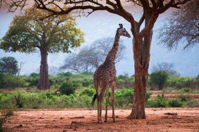 Plakát Žirafa s baobabu