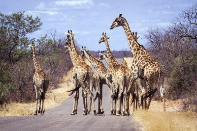 Plakát Žirafa v Kruger National Park
