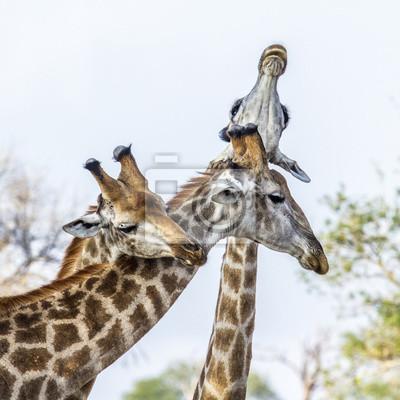 Plakát Žirafa v Kruger National Park, Jihoafrická republika