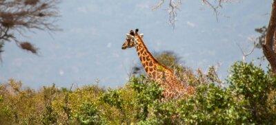 Plakát Žirafa v Tsavo East National Park