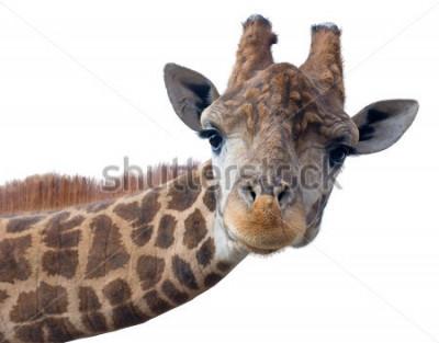 Plakát Žirafí hlava tvář izolovaných na bílém pozadí