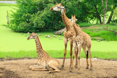 Plakát žirafy
