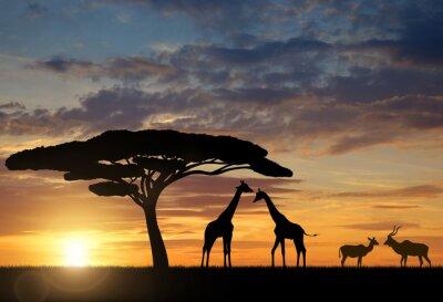 Plakát Žirafy se Kudu při západu slunce