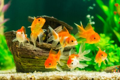 Plakát Zlatá rybka v akváriu s zelených rostlin