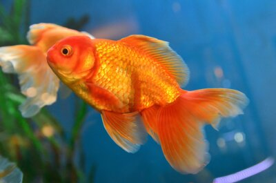 Plakát Zlaté ryby, zlaté rybky podvodní
